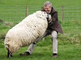 Scottish Liberal Democrat leader gets into a fight with a massive ram | The  Independent | The Independent